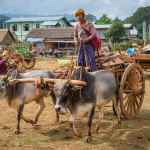 An ox cart ride takes you closer to local life
